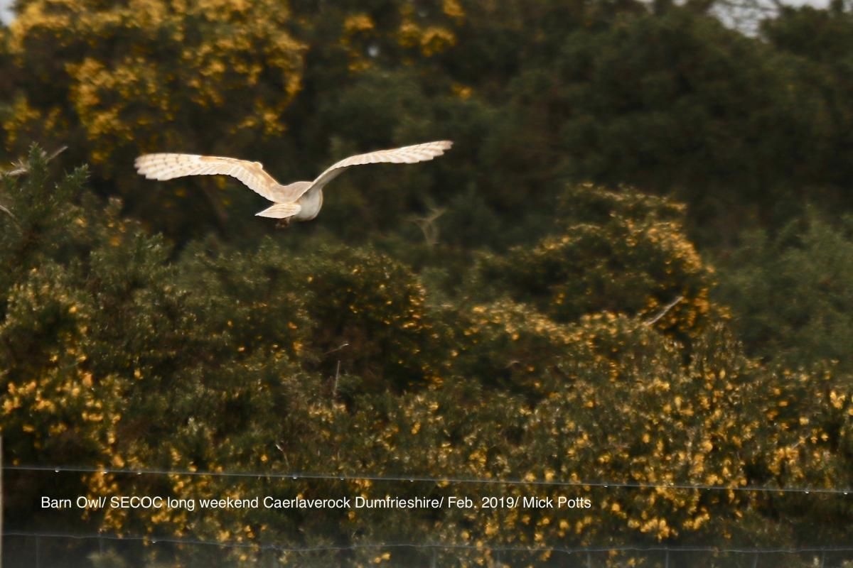 Barn Owl at Caelaveroch Dumfries & Galloway weekend Feb 2019 by Mick Potts
