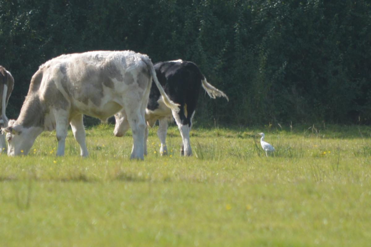 Cattle Egret at Dairy House Meadows Sept 2020 by Glyn Jones