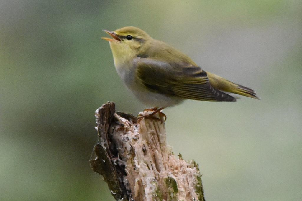 Wood Warbler at The Cloud May 2019 by Tracey Stubbs