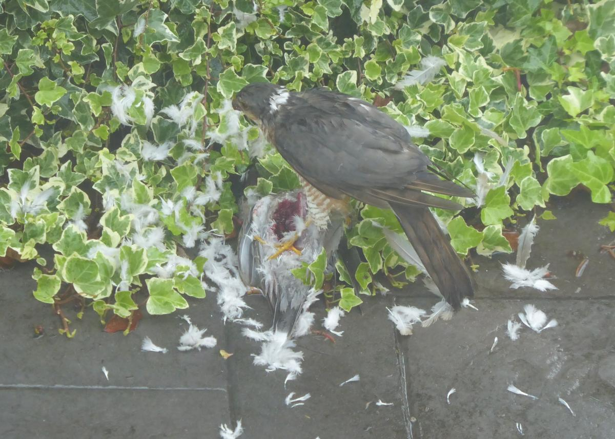 Sparrowhawk breakfast July 2020 by Colin Lythgoe